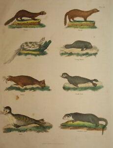 CANADIAN OTTER, SEAL, WALRUS, VISON.... RICHARD EVANS 1816.