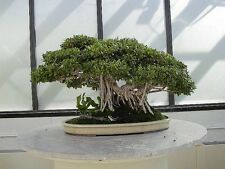 Collection #4 - Fig Trees - Ideal Indoor Bonsai Subject - 10 Packs of Seeds