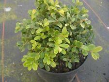 Buxus microphylla Herrenhausen  - Buchsbaum Herrenhausen