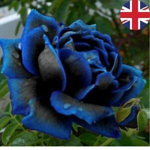 MIDNIGHT BLUE BOWER ROSE SEEDS GARDEN PLANT GARDENING 20% OFF WITH MULTIBUY