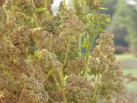 Quinoa, Royal White Fresh Hand-packaged Flower Seeds