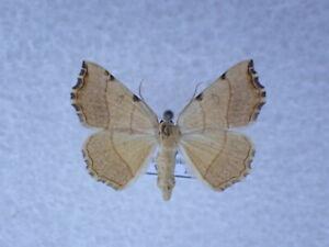 Eilicrinia trinotata Geometridae