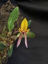 Bulbophyllum bolsteri Orchidee Species Naturform blühstark NEU aufgebunden