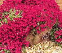 AUBRIETA ROCK CRESS CASCADE RED Aubrieta Hybrida Superbissima - 250 Bulk Seeds