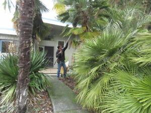 Banana Joe's Trachycarpus Hybrid Palm seeds / Canada
