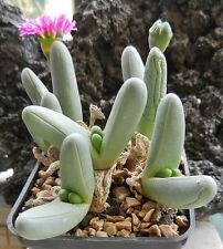 Finger Argyroderma Seed A. fissum Arid Living Small Succulent Magenta Flower