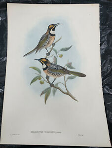 Original Lithograph John Gould Birds of Australia Melidectes Torquatus