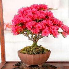 Bonsai Crape Myrtle Tree Red Flowers Seeds 30PCS (Rhododendron simsii) Garden