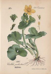Sumpfdotterblume (Caltha palustris) Chromo-Lithographie von 1882 marsh-marigold