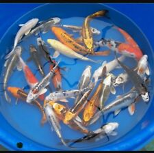 """Group of (3) 8-9"""" ASSORTED Standard Fin Live Koi Fish"""