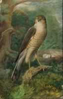 PICTURE POSTCARD BIRD SIGN J SALMON SPARROW HAWK AND NEST - ANIMAL UNPOSTED