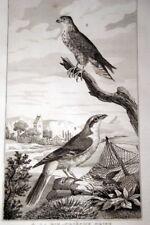 OISEAUX BUFFON GRAVURE EMERILLON PIE GRIECHE GRISE 1835 BF115