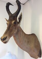 Beautiful African Red Hartebeest Shoulder Mount Taxidermy Rare Exotic Trophy Big 0000054F