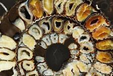 "525 ULTRA-RARE New Find Speetoniceras 9.5# PAIR Russian 266mm Ammonite XXL 10.3"""