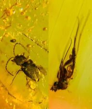 Coleoptera beetle&fly Burmite Myanmar Burma Amber insect fossil dinosaur age