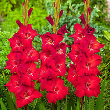 Gladiolus Large Flowering TRADERHORN Sword Lily ~ 5 Bulbs 8/10 cm RED & WHITE