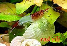 6 Red rili cherry shrimp Neocaridina davidi free shipping