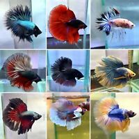 Halfmoon Live Betta Fish High Quality Grade A+++ Limit Special Price
