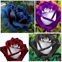 250 x Liebhaber charmant Samen seltene Garten Osiria Rose Samen B3K5