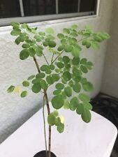 Moringa Oleifera tree live 8''/12' 39; plants