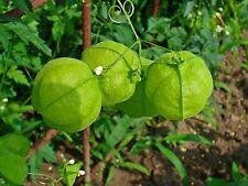 Balloon Vine (Cardiospermum Halicacabum) x 5 seeds. Delicate climber