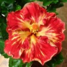 *Cajun Paprika* Rooted Tropical Hibiscus Plant*Ships Bare Root*