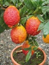 20 PCS/BAG red lemon tree also is Blood Orange Organic fruit seeds bonsai