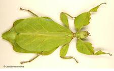 Phyllium celebicum - female, beautiful, spread