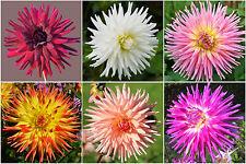 30 Samen Kaktus-Dahlie Bunter Mix Dahlia Dahlien