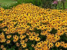 """Black Eyed Susan """"Rudbeckia Hirta"""" 350 Seeds"""