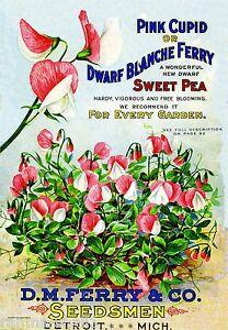 Pink Cupid Sweet Pea Vintage Flowers Seed Packet Catalogue Advertisement Poster