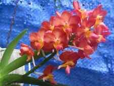 BROMLADY ORCHID VANDA BANGKOK SUNSET X V.WILASS  REDISH ORANGE  COLORS  B S