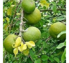 10 Unit Seeds For Aegle Marmelos, Bel Tree, Bilva Patra Seeds
