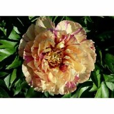 Peony White-Purple 10 Seeds Flowers Big Blooms Home Gardening FRESH SEED