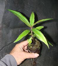 ~SAPPHIRE BLUE GINGER~ Gorgeous Dichorisandra thyrsiflora LIVE Potd PLANT