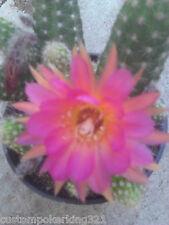 Chamaelobivia, ROSE QUARTZ, Flowering Hybrid, Cactus in 3 1/2 inch  plant pot