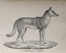Chacal goldschakal Wild perro lobo chacal Jackal sciacallo schabrackenschakal