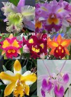 4 Live Orchids to choose Cattleya, Oncidium, Vanda, Dendrobium, Cymbidium