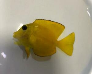Yellow Eye / Goldring Bristletooth - Ctenochaetus Strigosus