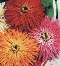 Zinnia *Cactus Giant* Flower Seeds from Ukraine