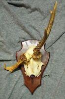 Vintage German Roe Deer Horns Antlers Taxidermy Hunting Trophy Non-Typical
