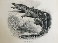 1845 Antique Print; The Alligator by SDUK