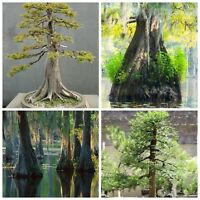 Swamp Cypress! Fresh viable seeds, outdoor hardy tree, ideal for Bonsai!