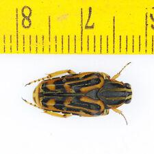 BEETLE - Cetoniidae sp (Male) - Very Rare - Gunung Jasar - MALAYSIA - 5311
