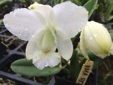 "Cattleya walkeriana 'Kenny' Species Orchid Plant Shipped in 2.5"" Pot"