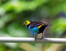 METAL FRIDGE MAGNET Bird Of Paradise Tanager Yellow Turquoise Black Blue Birds