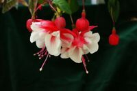 100PCs Rare Double Petals Fuchsia Bonsai Potted Flowers Seeds Plants Garden