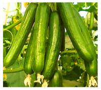 100 PCS Seeds Long Cucumber Bonsai Chinese Organic Vegetable Garden Rare Plants