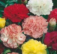 Claveles de colores mezclados semillas 150 aprox. Dianthus caryophyllus clavel