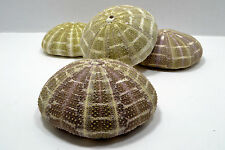 4-1/2+ Alfonso Sea Urchin Seashell Wedding Decor Nautical Shell Party Display